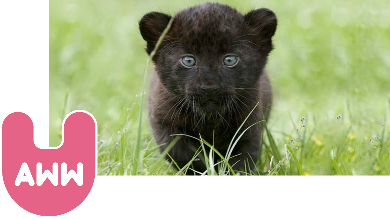 55023783f Baby Panther Drawing at GetDrawings.com | Free for personal use Baby ...