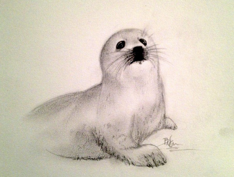 900x682 Baby Arctic Seal Drawing Hd Wallpapers On Your Very