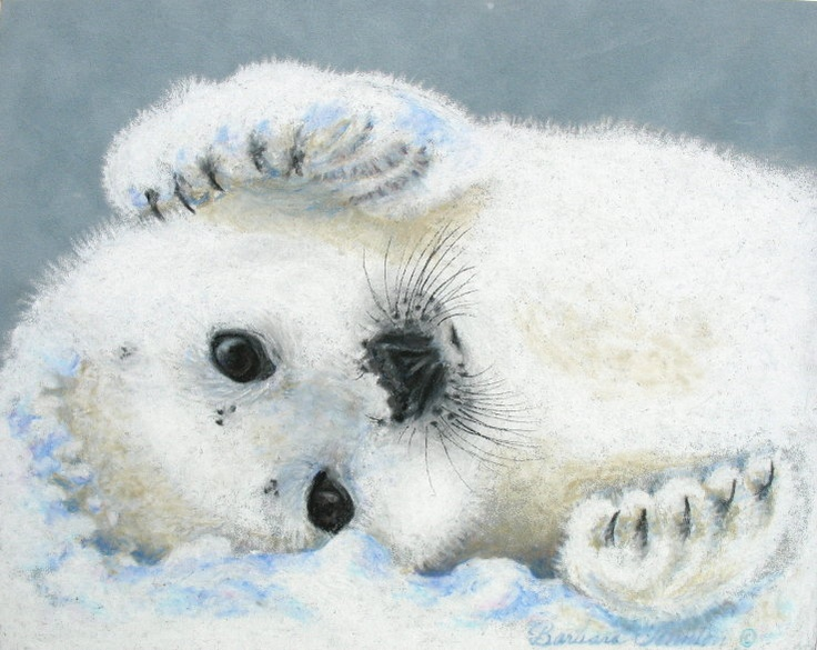 736x585 Pictures Of Seals To Draw Baby Harp Seal Why Do You Animaux