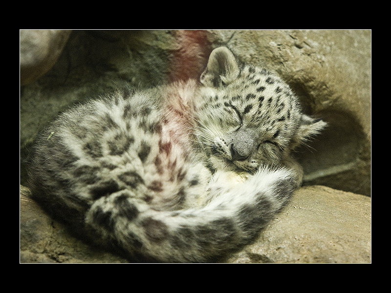 800x600 Sleeping Baby Snow Leopard By Acojon