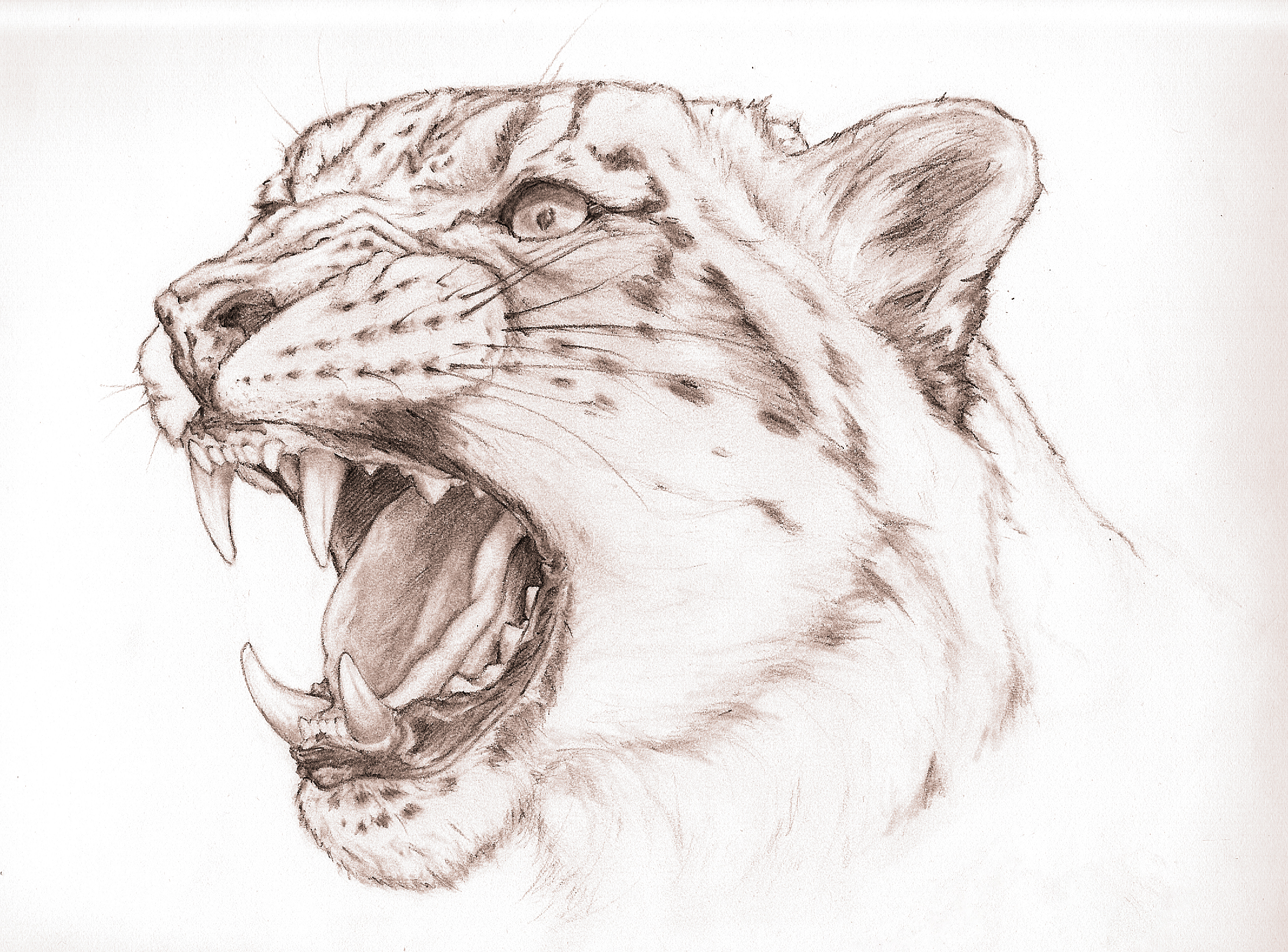 2187x1616 Snow Leopard Snarl By Valime