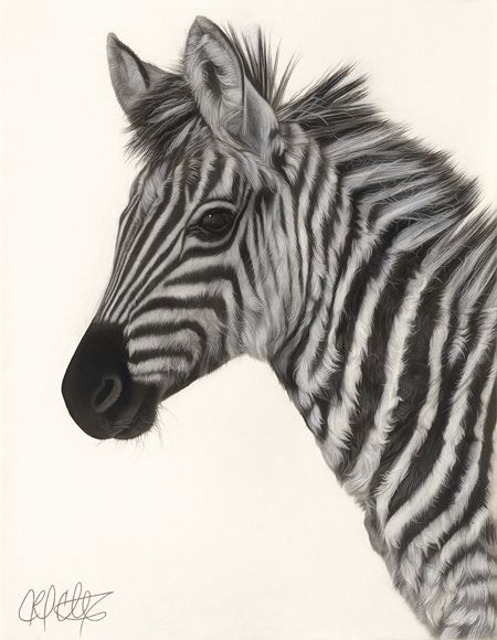 450x580 Drawing Of A Baby Zebra Amazing Art Drawings