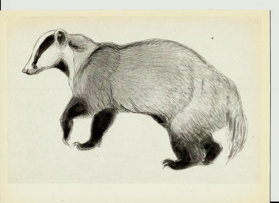 570x414 Badger Drawing Illustrations Of Animals By Vatagin Vintage
