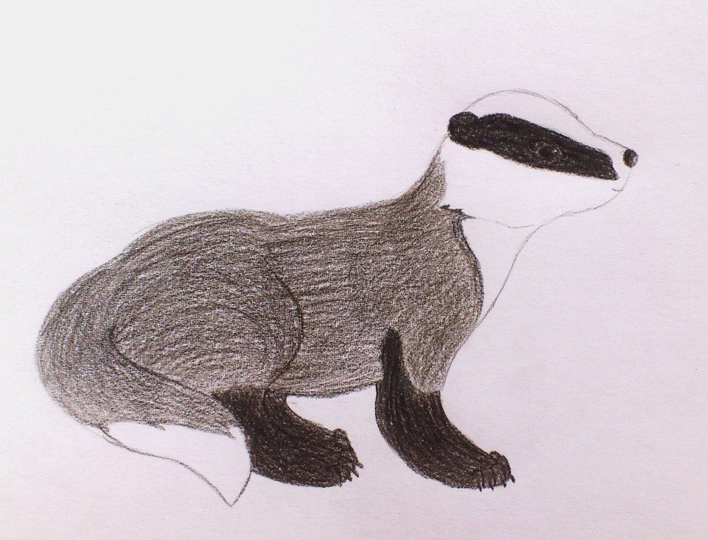 1024x781 Drawing Of A Badger By Terrie Badger