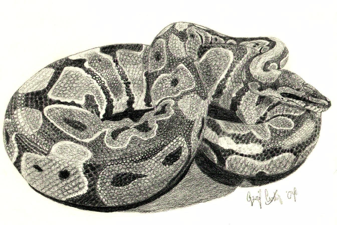 1345x896 Ball Python
