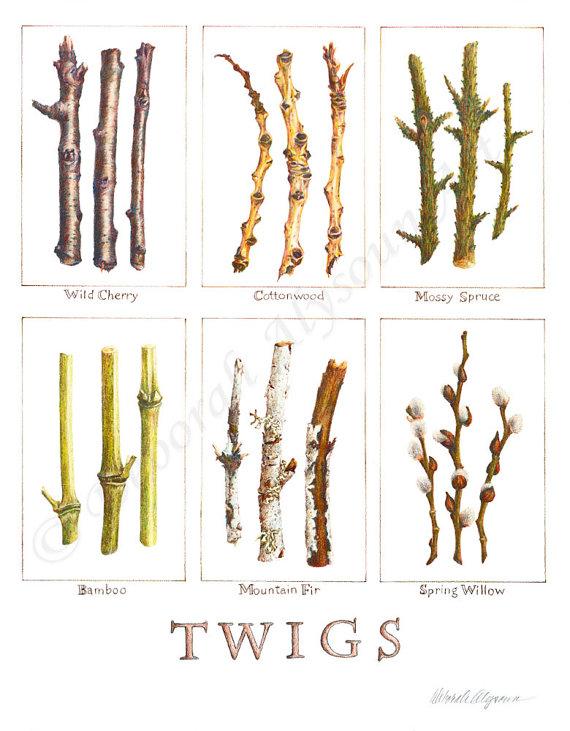 570x731 Colored Pencil Twigs Studies Art Print Nature Drawing Botanical