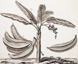 300x247 Banana Leaf Drawings Fine Art America