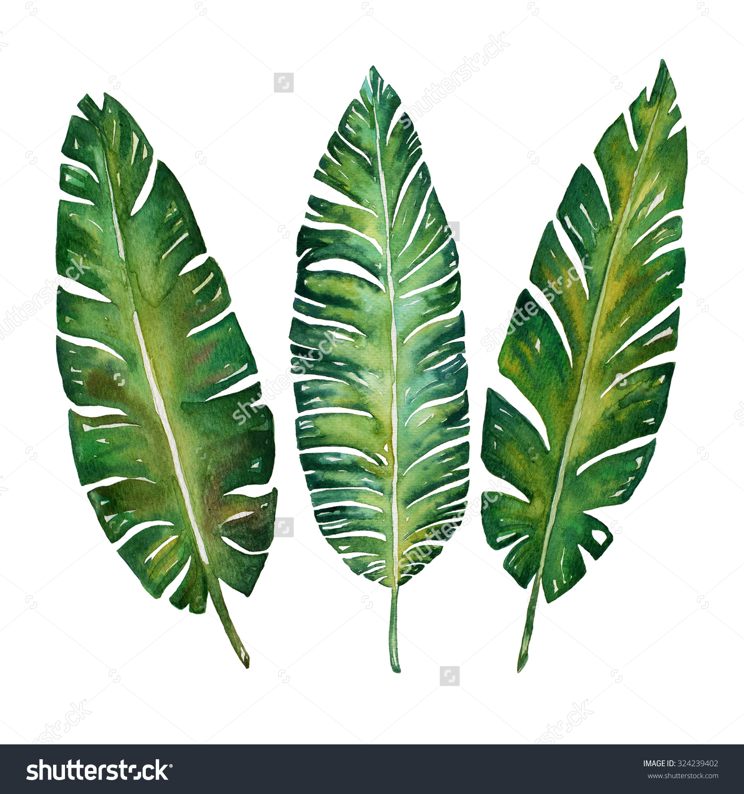 1500x1600 Banana Leaves Watercolor Plant Botanic Painting On White