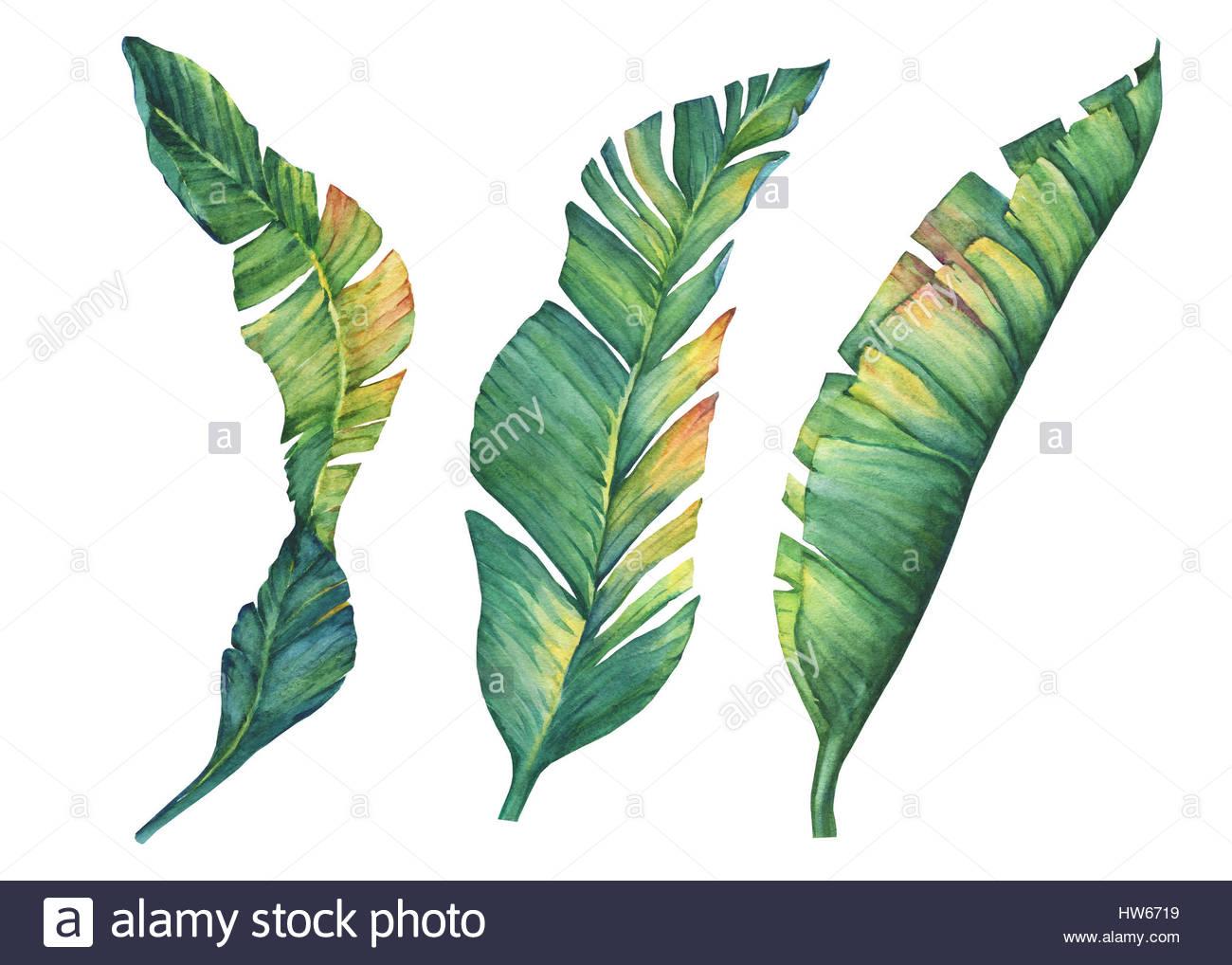 1300x1018 Set Of Exotic Tropical Banana Leaves. Hand Drawn Watercolor