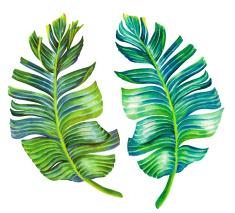 235x213 Seingle Isolated Banana Leaf Illustration Wallpaper, Fabrics
