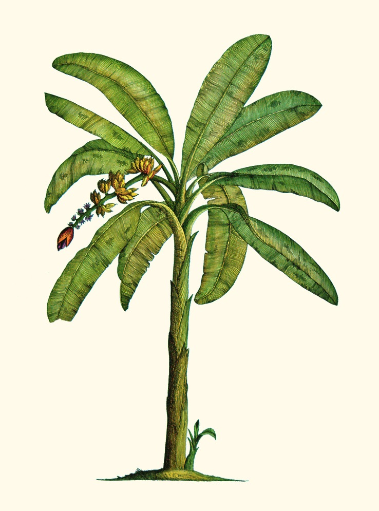 738x995 Banana Tree Botanical By Joeyartist