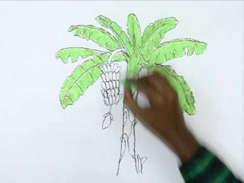 480x360 How To Draw A Banana Tree