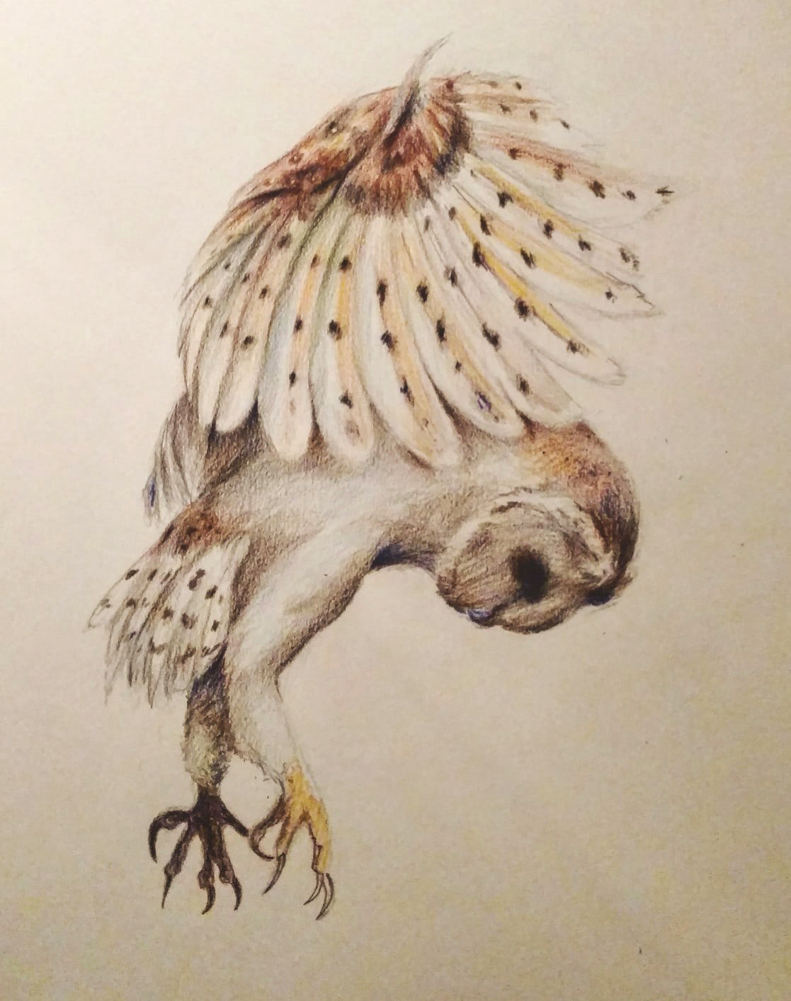 1117x1413 Barn Owl Attack Drawing With Colored Pencil Artist Amanda Leigh