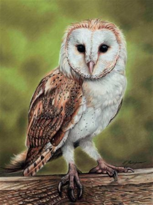 530x709 How To Draw A Barn Owl Using Pastel Pencils