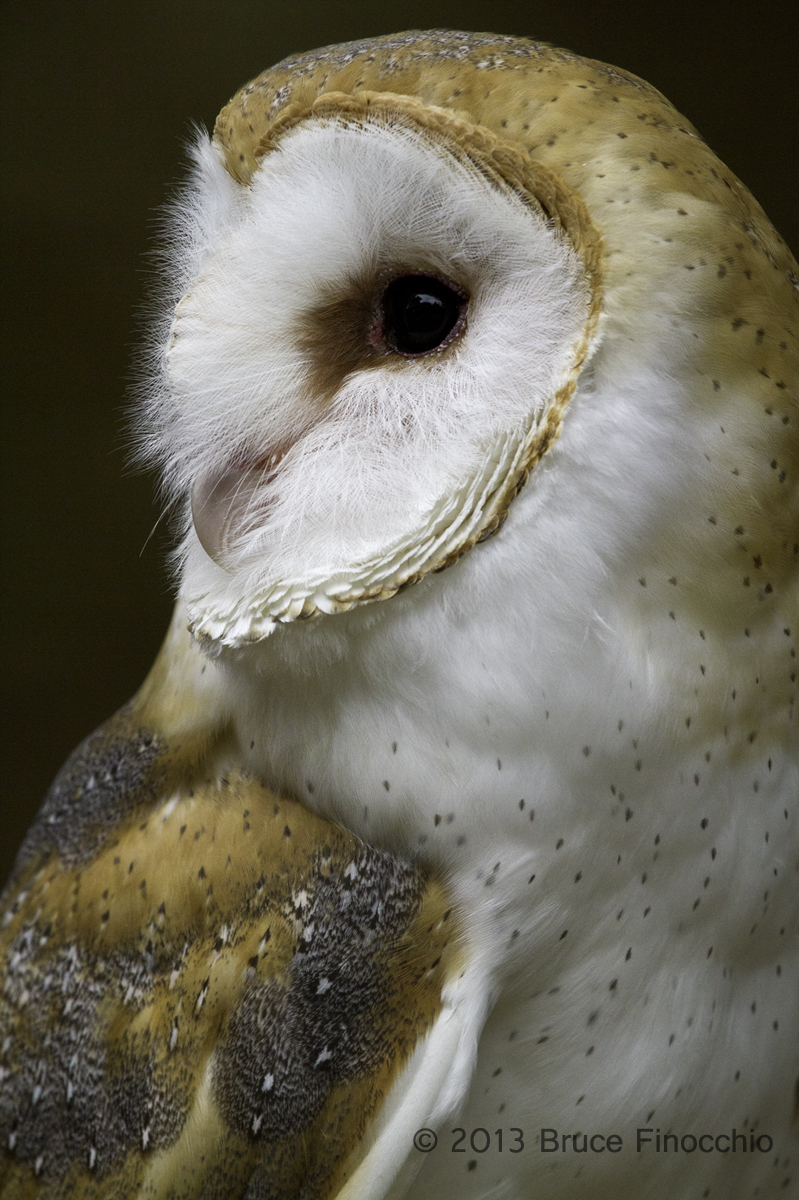 799x1200 Barn Owl Dream Catcher Images By Bruce Finocchio