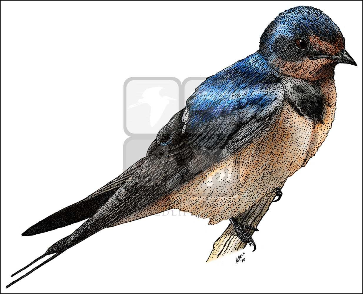 1234x1000 Barn Swallow (Hirundo Rustica) Line Art And Full Color Illustrations