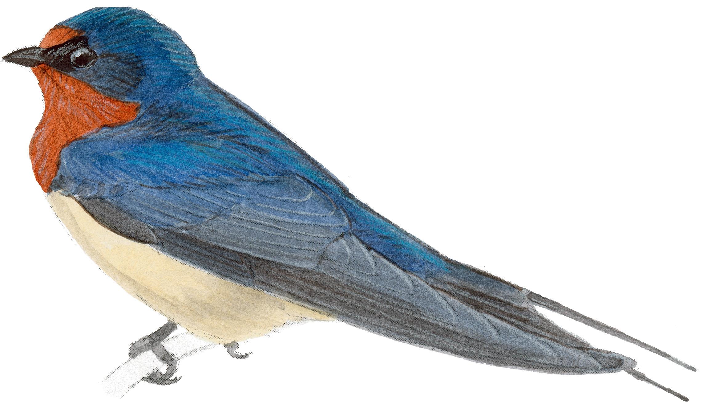 2296x1324 Barn Swallow