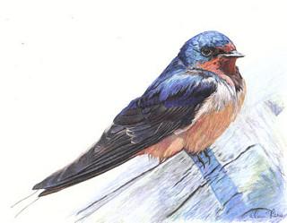 320x249 Barn Swallow Barn Swallow