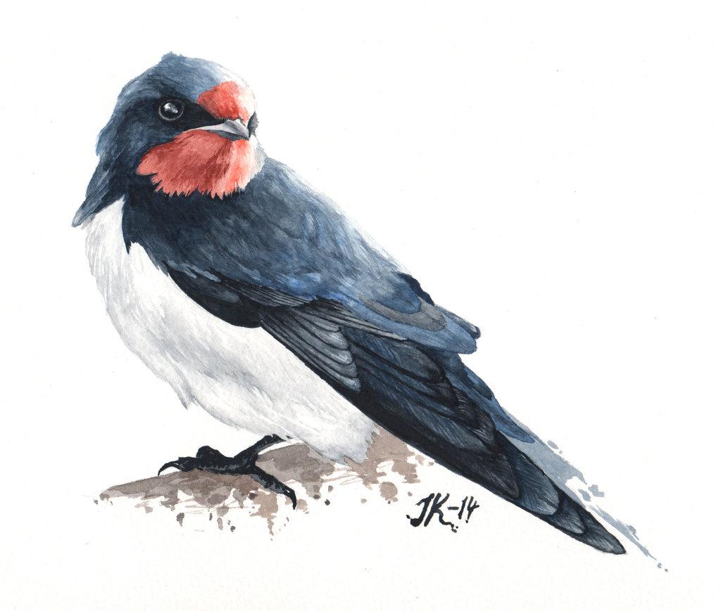 1024x869 Barn Swallow. By Jacobkihlgren
