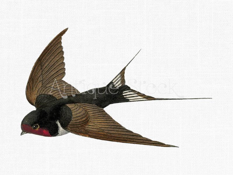 800x600 Flying Swallow Image Barn Swallow Bird Digital Download