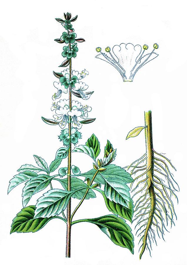 636x900 Basil, Thai Basil, Or Sweet Basil, Ocimum Basilicum Drawing By