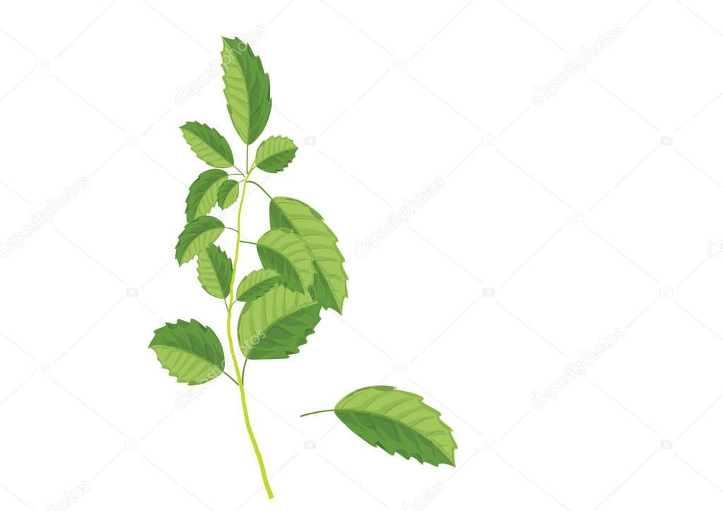 1023x723 Basil Leaves On The Branch. Herbs For Cooking Hand Drawing