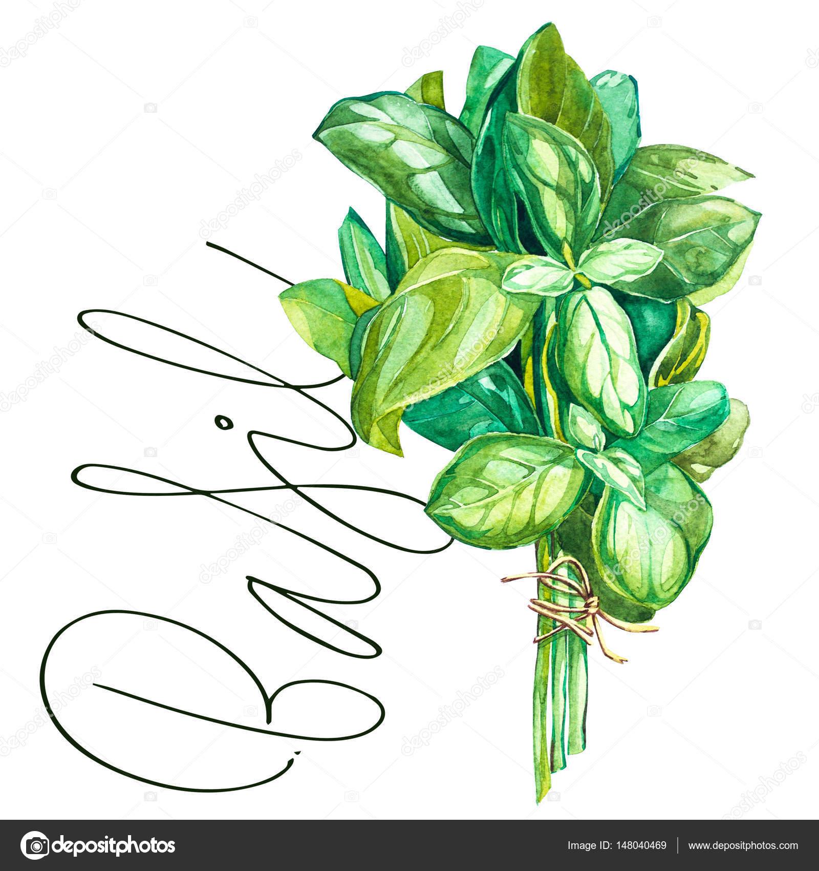 1600x1700 Botanical Drawing Of A Basil Leaver. Watercolor Beautiful