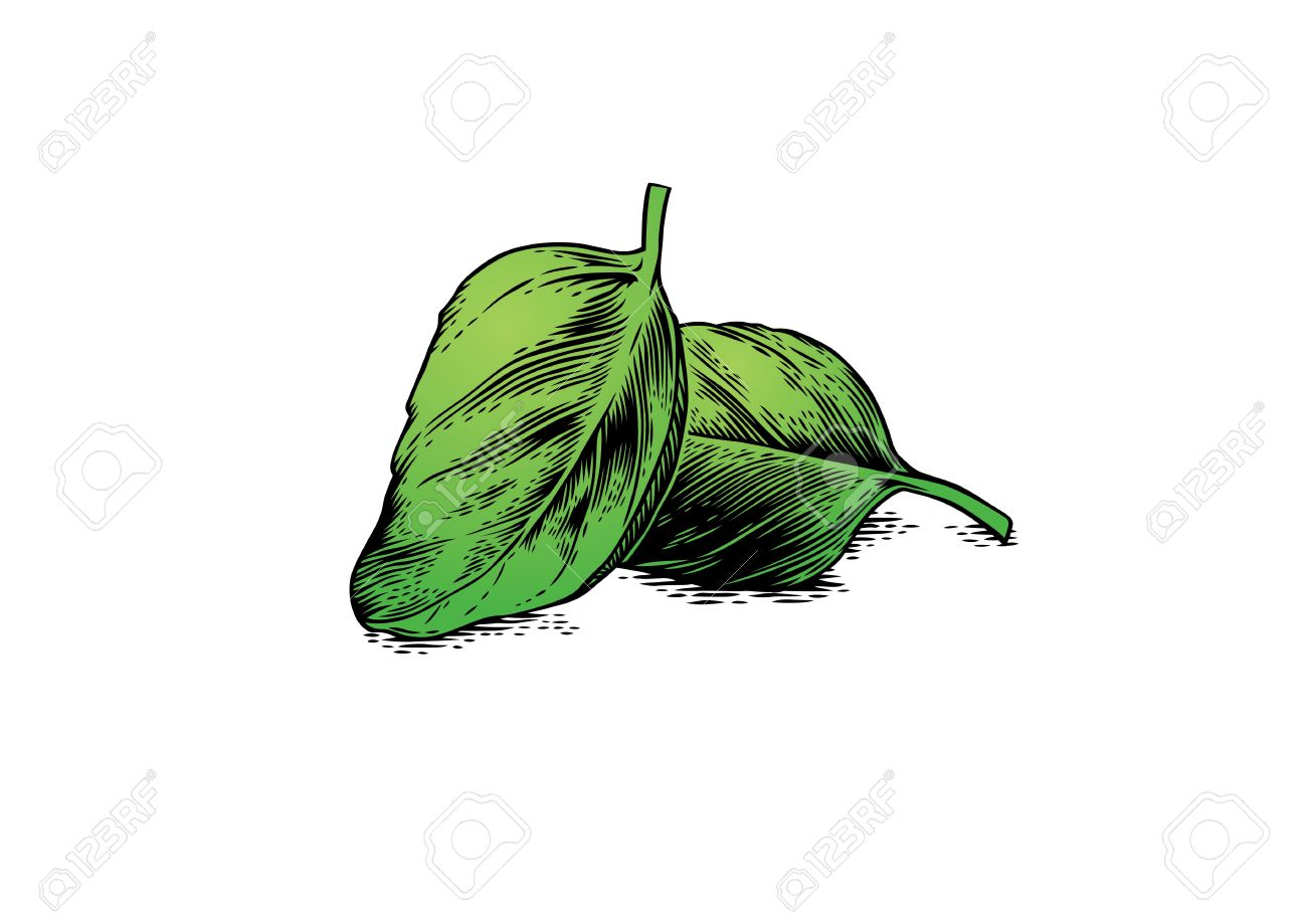 1300x919 Drawing Of Two Basil Leaves On The White Royalty Free Cliparts