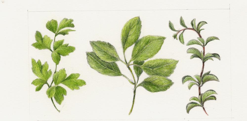1000x489 Fruits Amp Vegetables Botanical Artist Amp Illustrator, Learn