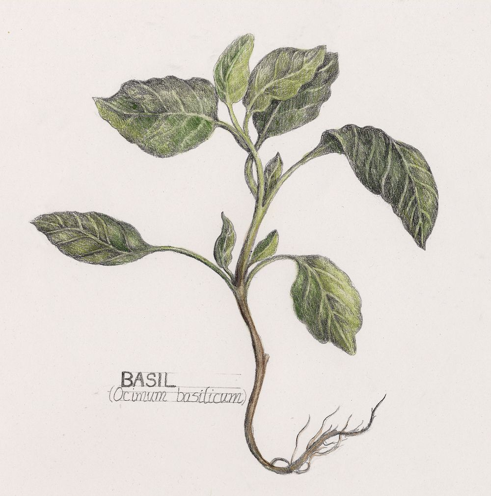 1000x1009 Images For Gt Nutmeg Tree Drawing Tattoos Botanical