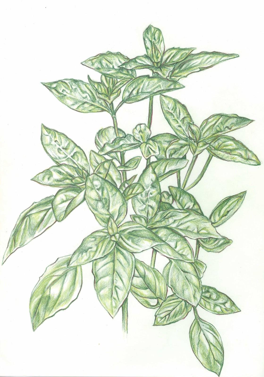 1119x1600 Jessie's Art An Old Genovese Sweet Basil Illustration