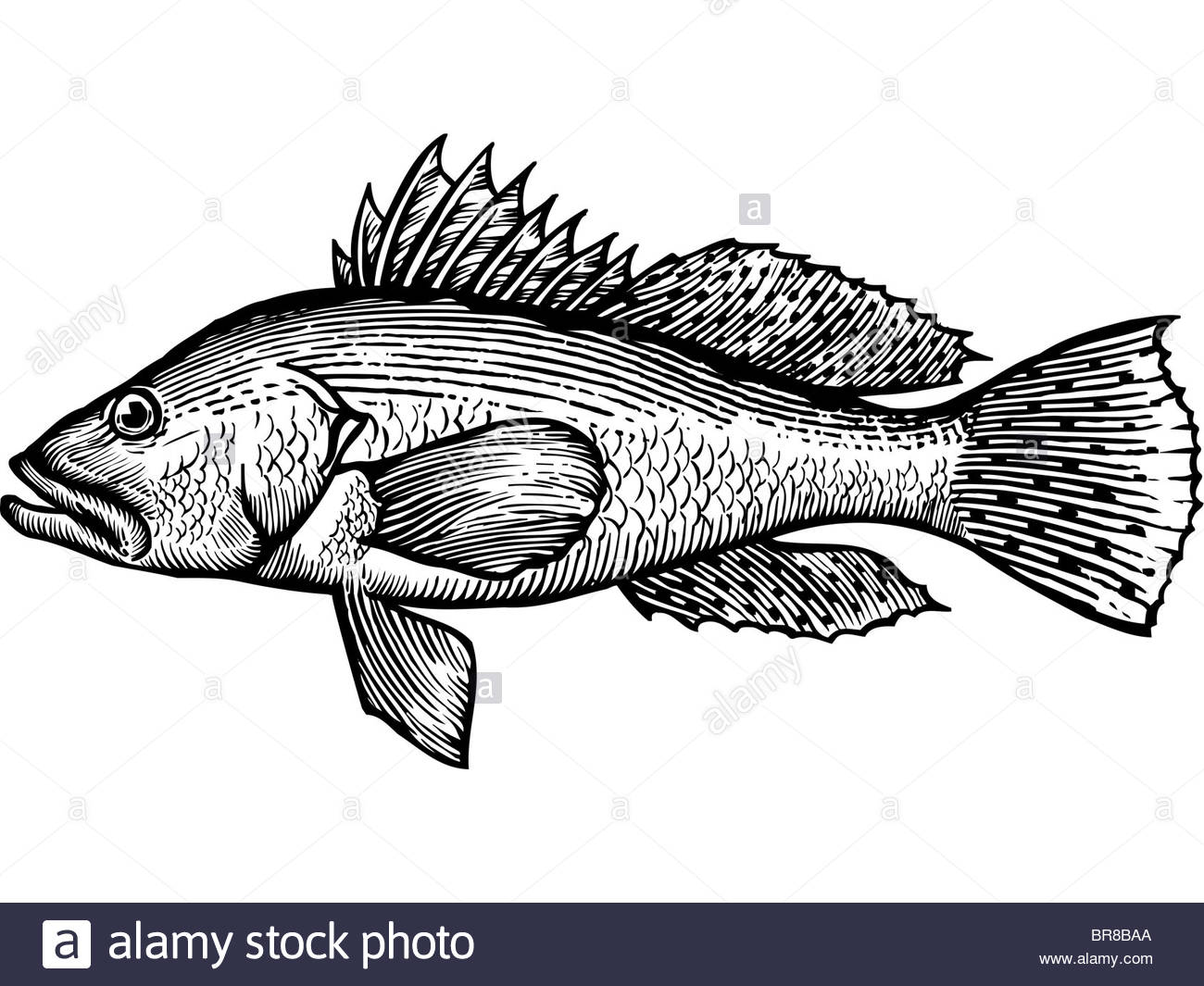 1300x1065 A Black And White Drawing Of A Sea Bass Stock Photo 31531986