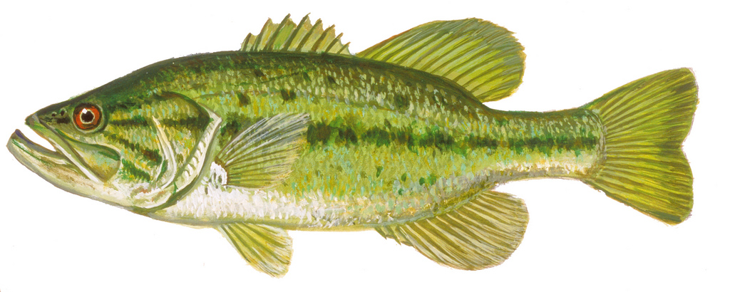 1024x410 Largemouth Bass Drawing Of Largemouth Bass. Fish