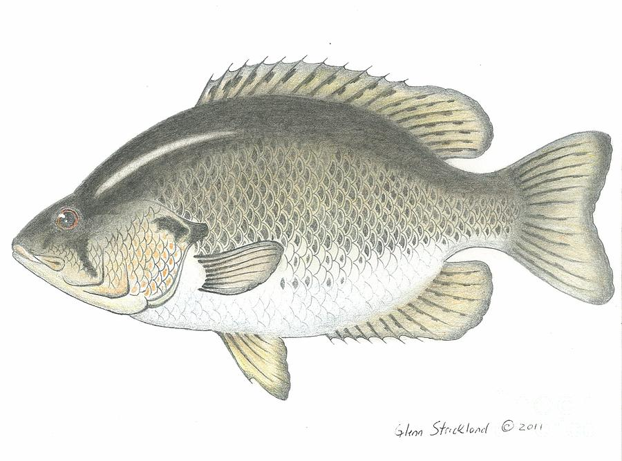 900x667 Rock Bass Fish Drawing By Glenn Strickland