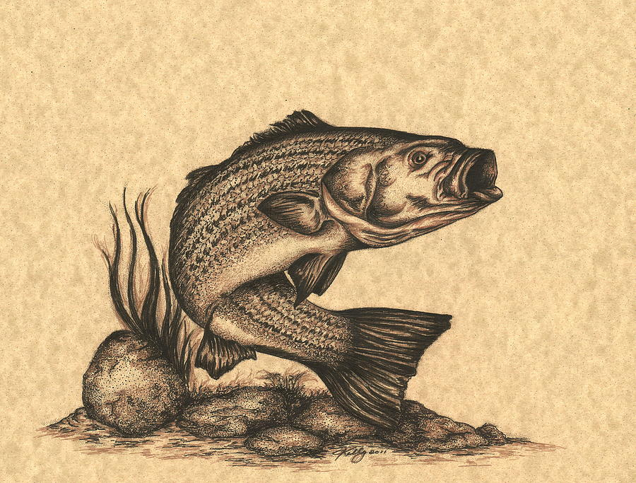 900x683 Striped Bass Drawing By Kathleen Kelly Thompson