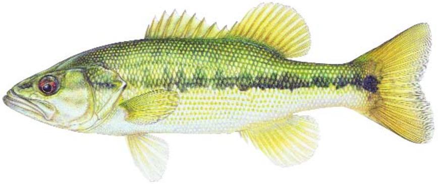 870x366 Spotted Bass Fish Species Fishing Kdwpt