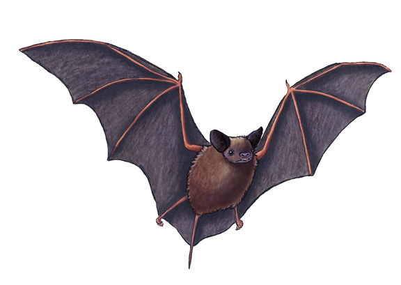 576x409 Bat (Mexican Free Tailed Or Brazilian Free Tailed)