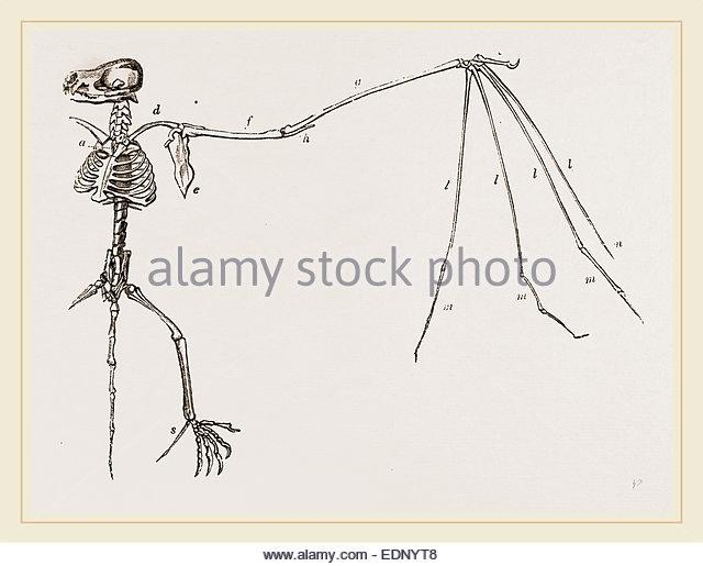 640x515 Bat Skeleton Stock Photos Amp Bat Skeleton Stock Images