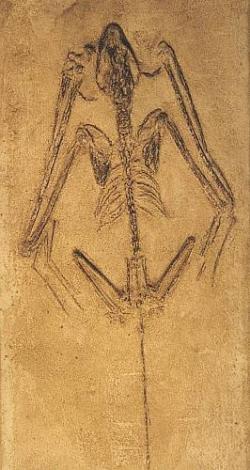 250x470 Fossil Bat Skeleton Casting