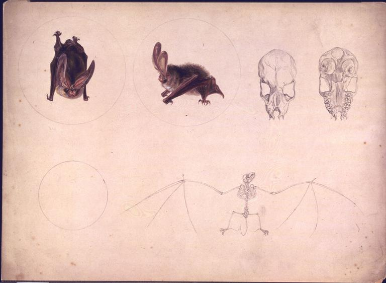 768x562 Studies Of A Bat And Its Skeleton Potter, Beatrix Vampa Search