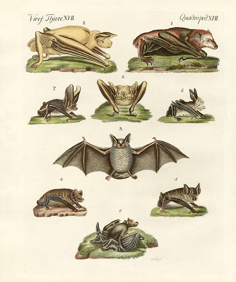 752x900 Different Kinds Of Bats Drawing By Splendid Art Prints