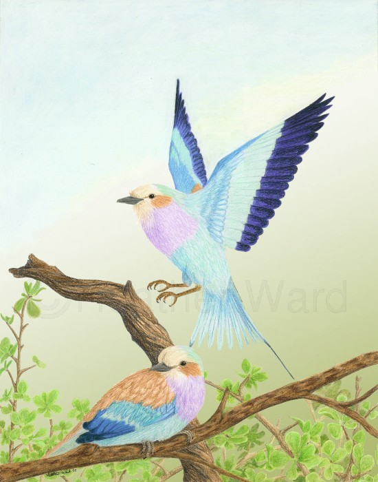 550x700 Heather Ward Wildlife Art Lilac Breasted Roller