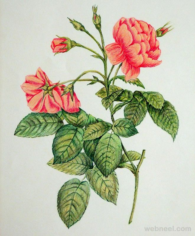 660x797 25 Beautiful Rose Drawings And Paintings For Your Inspiration
