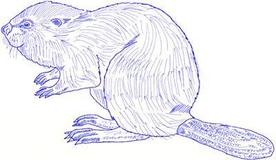 400x232 How To Draw A Beaver