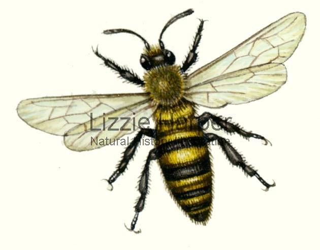 630x492 Honey Bee Lizzie Harper Illustration Botanical Illustration