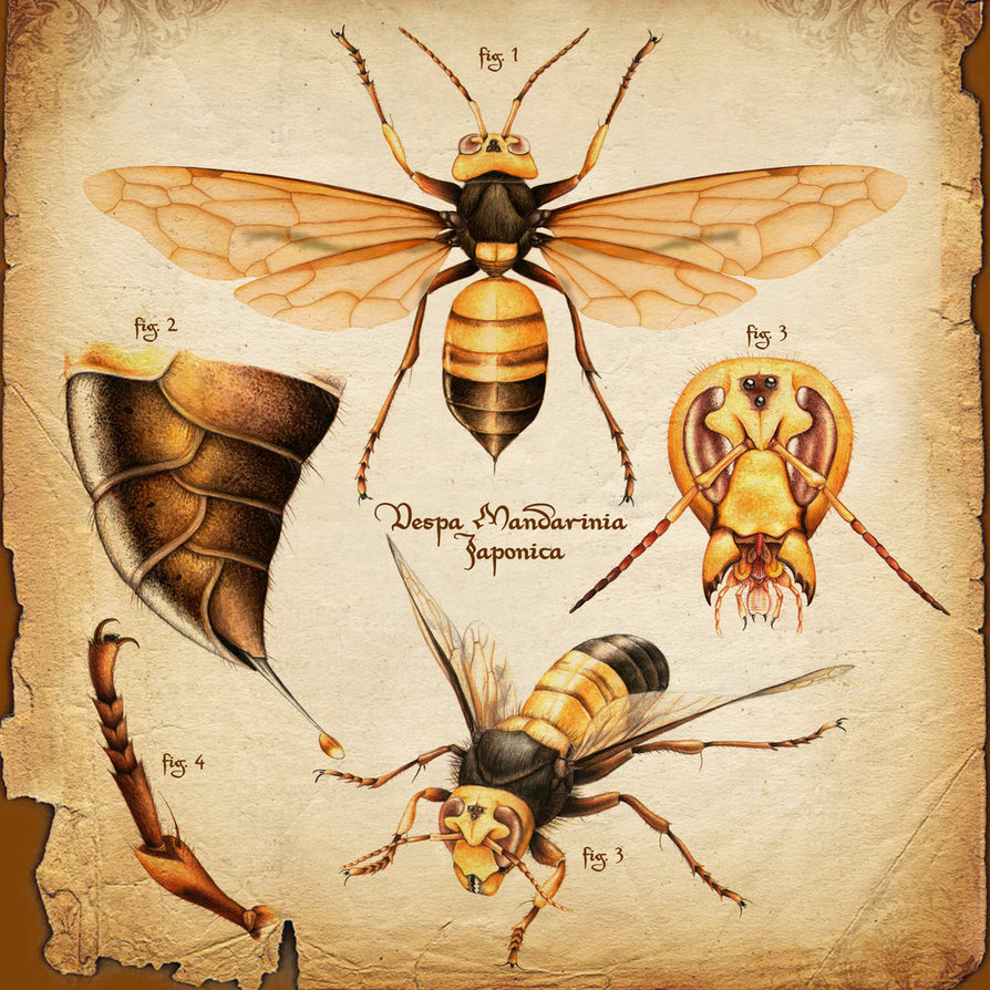 894x894 Vespa Mandarinia, Scientific Illustration By Airborneterror