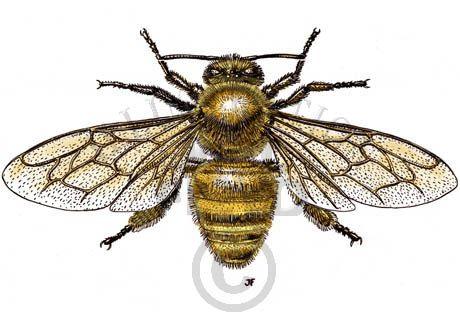 460x322 Bee Scientific Illustration