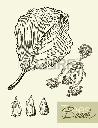 345x450 Beech Leaf Illustration Isolated On A White Background Royalty