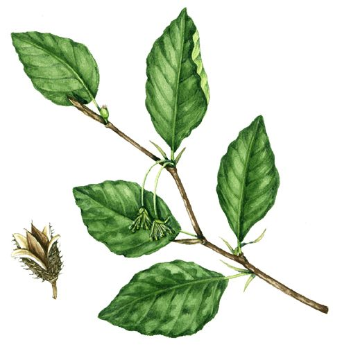 493x500 Botanical Illustration Of Beech Showing An Ovate Simple Leaf Shape