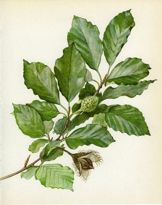 570x719 Common Or European Beech Botanical Prints